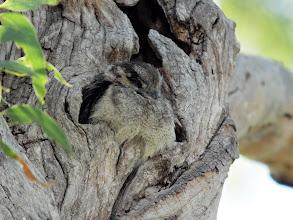 Photo: Australian Owlet-nightjar