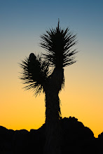 Photo: Joshua tree silhouette