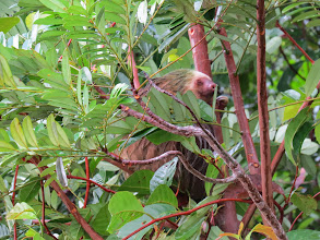 Photo: Another sloth. We saw two and three toed sloths.