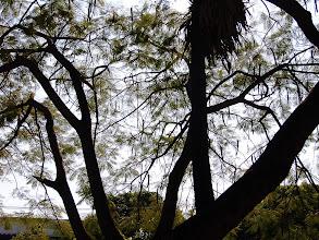 Photo: Tamarind Tree