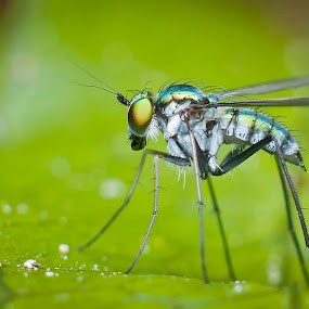 Long Leg Fly by Oren Kaler - Animals Insects & Spiders ( nature )
