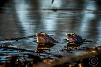 Photo: Bernsteinaugenleuchten im Abendlicht  Naturfotografie: http://goo.gl/ITvFrA
