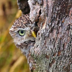 Peek-a-Boo by Wilson Beckett - Animals Birds (  )