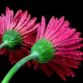 Red duo by Asif Bora - Flowers Flowers in the Wild (  )