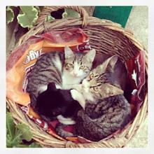 Photo: Kittens in a basket #intercer #cat #cats #pet #pets #animal #beautiful #pretty #sweet #learn #petsofinstagram #catsofinstagram #paw #paws #ears #white #orange #color #colour #eye #face #funny #portrait #fur #sleep - via Instagram, http://instagram.com/p/fAuN51Jfvw/