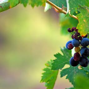 Grapes by Pixie Simona - Nature Up Close Gardens & Produce ( fruit, vines, blue, grapes, green leaves, vine, grape, fruits, leaves,  )