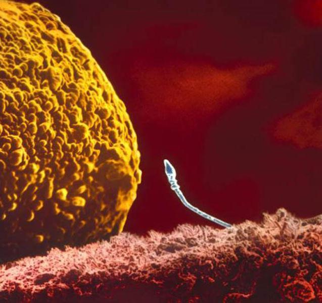 spermatozoid_ovul.jpg