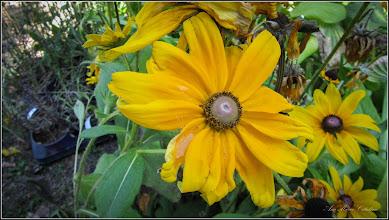 Photo: Bulgari de soare, Ruza galbena  (Rudbeckia Hirta Indiana Summer) - din Turda, Parcul Central Expo Flora - 2018.08.19