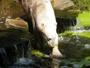Photo: Knut ist auf dem Weg zum Wassergraben ;-)