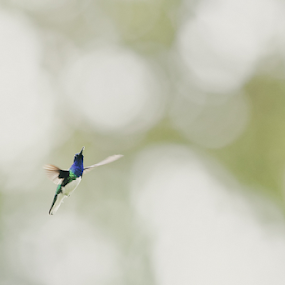 by Johannes Oehl - Animals Birds ( florisuga, small, front view, ecosystem, beauty, white-necked jacobin, fauna, iucn red list, adult animal, aves, america, ecotourism, freeze frame, avian, beautiful, amazing, adventure tourism, high key, trochilidae, la fortuna de san carlos, latin america, bird, full body, action, alajuela, nectarivore, la fortuna, attractive, natural light, active, beauty in nature, herbivore, blurred background, morning, fascination, florisuga mellivora, central america, light, outside, color image, animal, great jacobin, humid climate, lawngreen, wing, agility, daytime, male, adorable, little, creative image, jacobin, adventure and extreme, morning time, tropical zone, responsible tourism, wildlife tourism, hovering, self-control, action shot, blur, chordata, costa rica, cute, sparkling, selective focus, least concern (lc), nature and rural, one animal, general view, exotic, jungle tourism, delight, elegant, telephoto, sustainable tourism, apodiformes, wildlife-photography, green background, tropical, outdoors, tropics, bokeh, movement, arenal volcano national park,  )