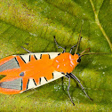 Gorgonidia Tiger Moth