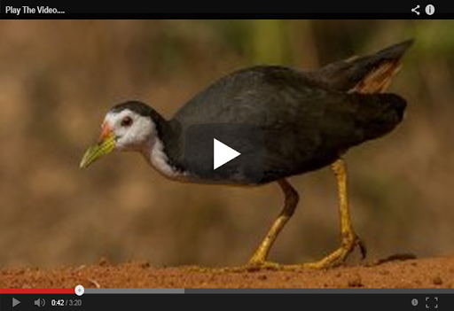Download Suara Burung Ruak Ruak Pikat Apk Full Apksfull Com