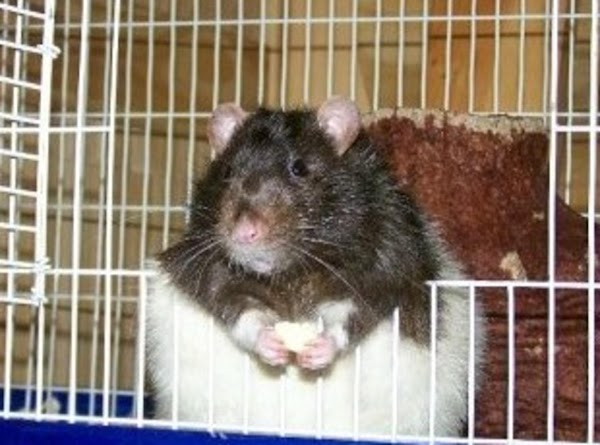 He lived two years before dieing. About normal for a large Rat. He loved...