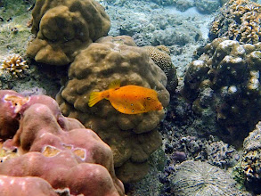 Photo: Ostracion cubicus (Yellow Boxfish), Miniloc Island Resort reef, Palawan, Philippines.