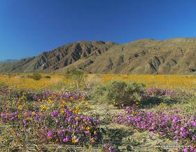 Photo: Verbena and brittlebush; Anza Borrego Desert State Park