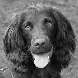 Tilly by Chrissie Barrow - Black & White Animals ( monochrome, black and white, cocker spaniel, pet, dog, mono, portrait, animal,  )