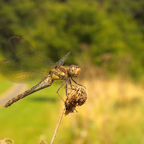Dragonfly ...Rest  by Ian Cormack - Animals Insects & Spiders ( dragonfly )