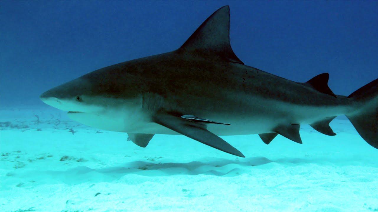 Bull Shark Fishing in Florida - The American Outdoorsman