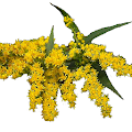 Nebraska Wildflowers APK