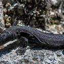 Brusnik wall lizard