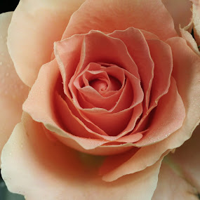 Rose. by Bob Raber - Nature Up Close Flowers - 2011-2013