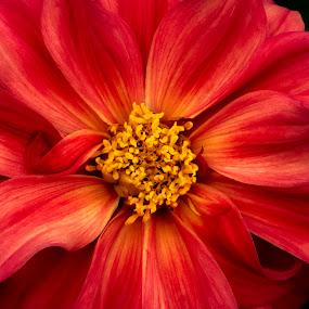 seductive by Mark Ritter - Flowers Single Flower ( floral, macro, beautiful, nature, closeup, flora, garden, flower,  )