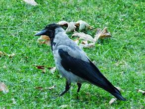 Photo: ツートンカラーのカラス【英名】Carrion Crow:死肉を食う烏という意味で別名はhooded clow 訳すとズキンガラス(頭巾烏)