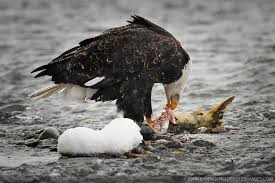 Image result for bald eagles eating