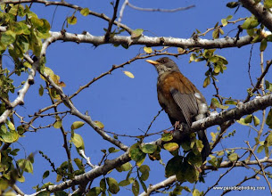 Photo: Rufous-backed Thrush, PV Botanical Gardens