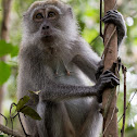Log-tailed Macaque