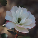 Green Ice Rose