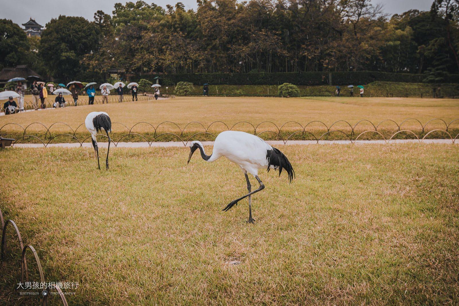 剛好看到出來放風散步的白鶴們。