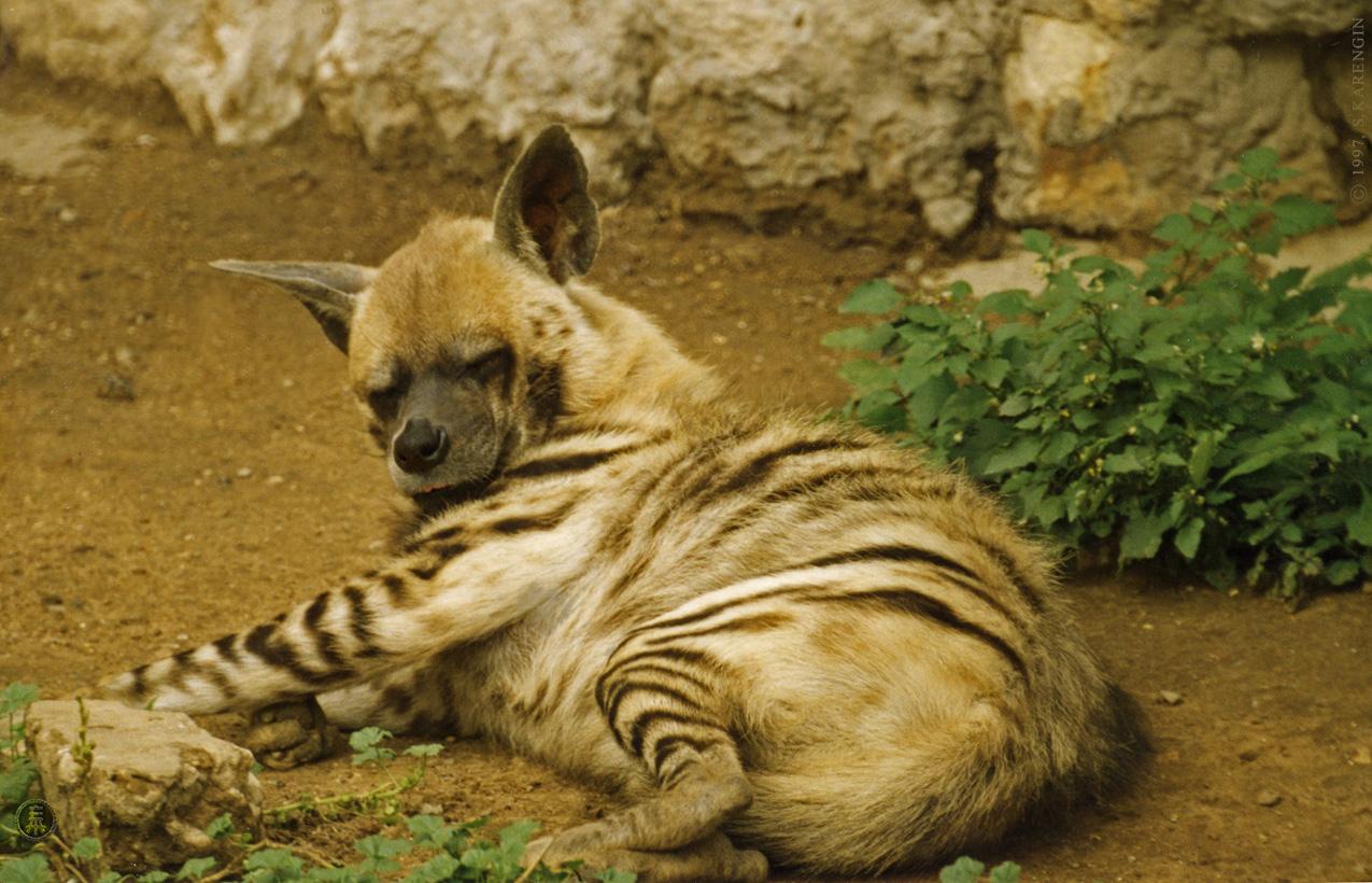 animals, photo, гиена полосатая, животные, фото, hyaena hyaena, animaux, photography,