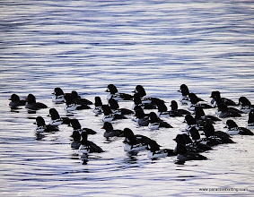 Photo: Large raft of Barrow's Goldeneyes on Resurrection Bay