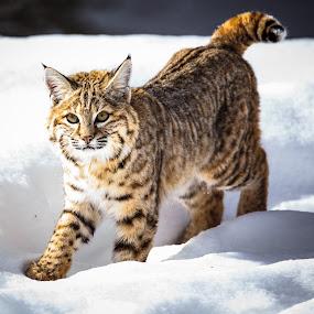 Bobcat 2 by Will Ballew - Animals Other Mammals ( yellowstone, bobcat, snow, yellowstone national park, wildlife, ynp )