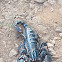 Giant Forest Scorpion