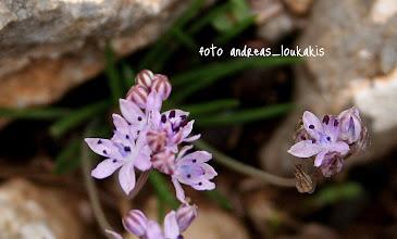 Photo: Scilla autumnalis ή Σκίλλα η φθινοπωρινή   Η μικροσκοπική αυτή Σκίλλα ανθίζει τέλη Σεπτεμβρίου και αρχές Νοεμβρίου βγάζει τα γραμμοειδή φύλλα της. Είναι καλό μελισσοτροφικό φυτό σε μια δύσκολη εποχή για τις μέλισσες (για νέκταρ και για γύρη). Πολυετές βολβώδες φυτό με βλαστό όρθιο που δεν ξεπερνά τα 15 cm. Ενδημικό της Ευρώπης και της βόρειας Αφρικής. Θα τη βρούμε σε ανοιχτούς φρυγανότοπους και σε βραχώδεις τοποθεσίες, σε χαμηλά και μέσα υψόμετρα. Θεωρείται δηλητηριώδες φυτό