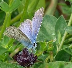 Photo: Alternder Bläuling (?) (Polyommatus icarus)