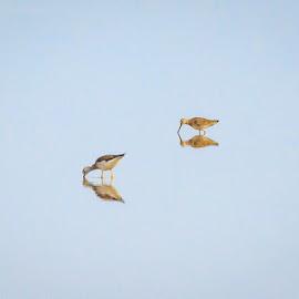 Feeding Yellow Legs by Jim Hendrickson - Novices Only Wildlife ( bird, waterfowl, wildlife, yellow legs, birds )