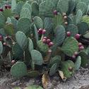 Coastal Prickly Pear