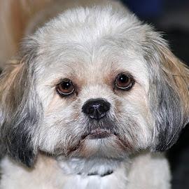 Rosie by Chrissie Barrow - Animals - Dogs Portraits ( fur, white, lhasa apso, cream, portrait, dog, eyes, grey )