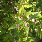 Common myrtle, Mirta, 6879 Bot,