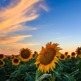 Sunflower by Kendra Perry Koski - Landscapes Prairies, Meadows & Fields ( hdr, sunflowers, 2016, agriculture, south dakota, yellow, landscape, farming, presho, farm, blue, sunset, grain, summer, august, crops, lyman county, daktawindsphoto.com, flowers, dakota winds photography,  )
