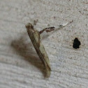 Walnut Caloptilia moth