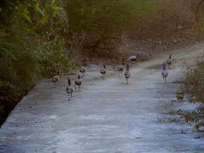Photo: Peacocks a plenty