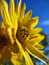 Photo: Golden flowers under blue sky and sun at Carriage Hill Metropark in Dayton, Ohio.