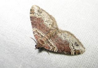 Photo: Xanthorhoe spadicearia    Lepidoptera > Geometridae