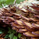 Violet-toothed Polypore
