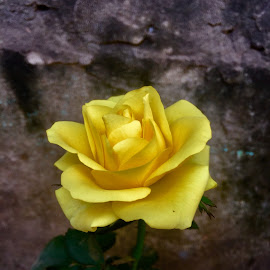 Rose  by Shahed Arefeen - Flowers Single Flower ( yellow rose, single flower, rose, photography, flower )