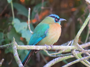 Photo: TheBlue-crowned Motmot is a beautiful, exotic but not rare bird.
